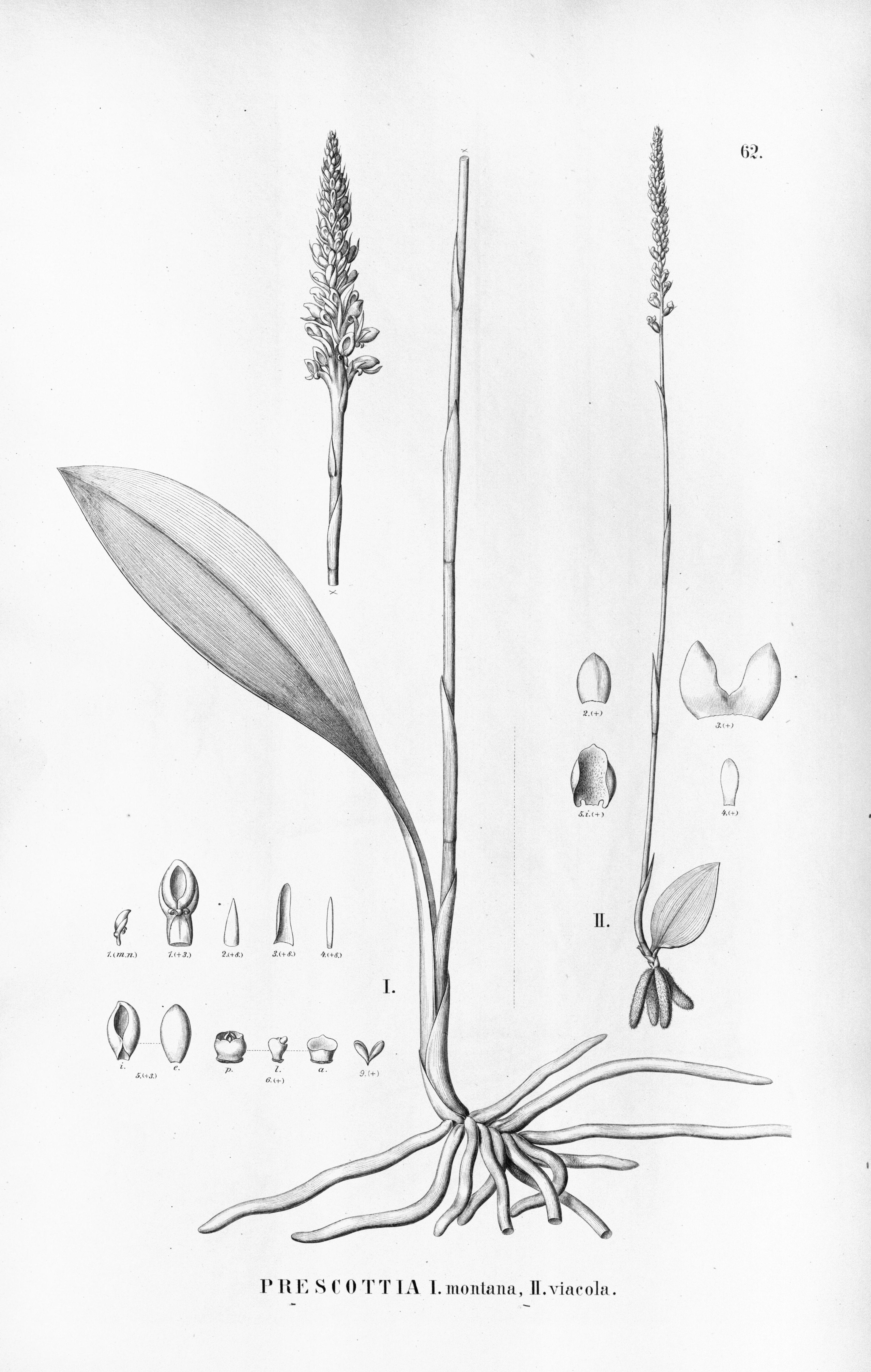 Image of Prescott orchids