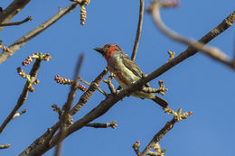 Image of Vieillot's Barbet