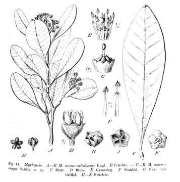 Image of Myrtopsis