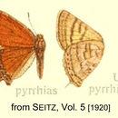 Image of <i>Iophanus pyrrhias</i> (Godman & Salvin 1887)