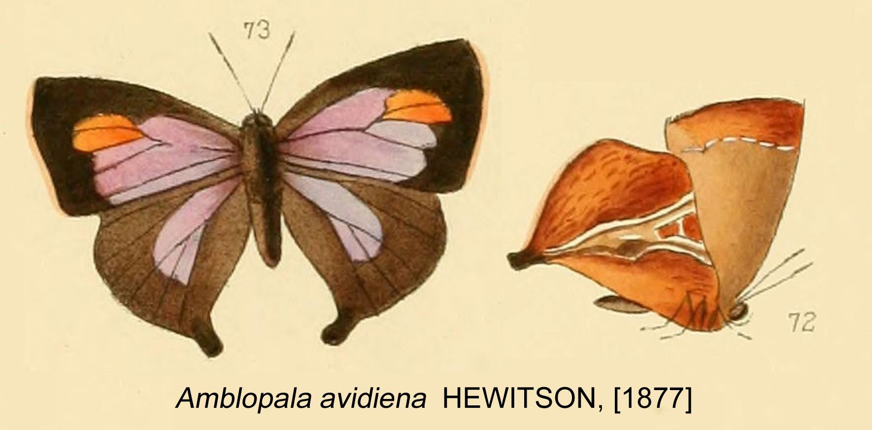 Image of <i>Amblopala avidiena</i> (Hewitson 1877)