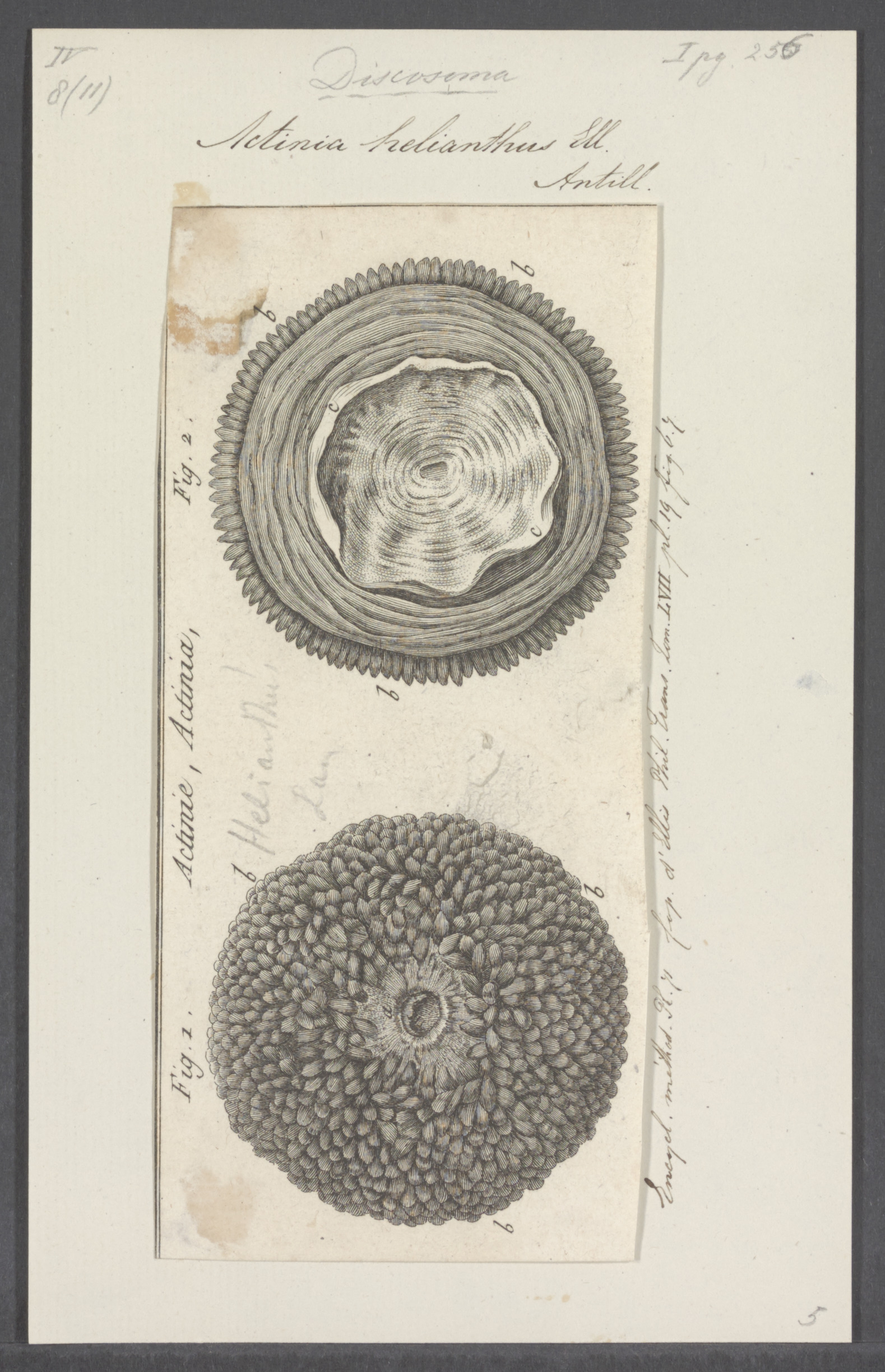Image of <i>Stichodactyla helianthus</i> (Ellis 1768)