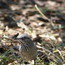 Image of Chestnut-vented Warbler