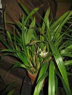 Image of <i>Coelia bella</i> (Lem.) Rchb. fil.