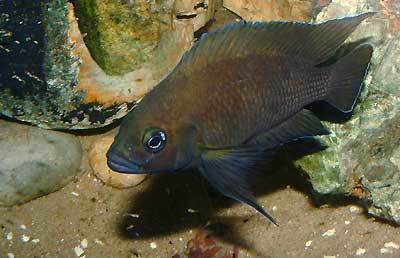 Image of <i>Variabilichromis moorii</i> (Boulenger 1898)