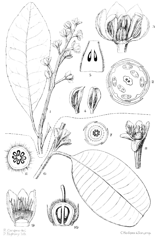 Image of Sphenostemon
