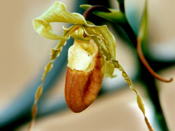 Image of Hirtz' Phragmipedium