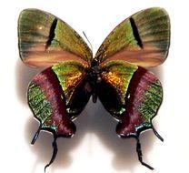 Image of <i>Evenus coronata</i>