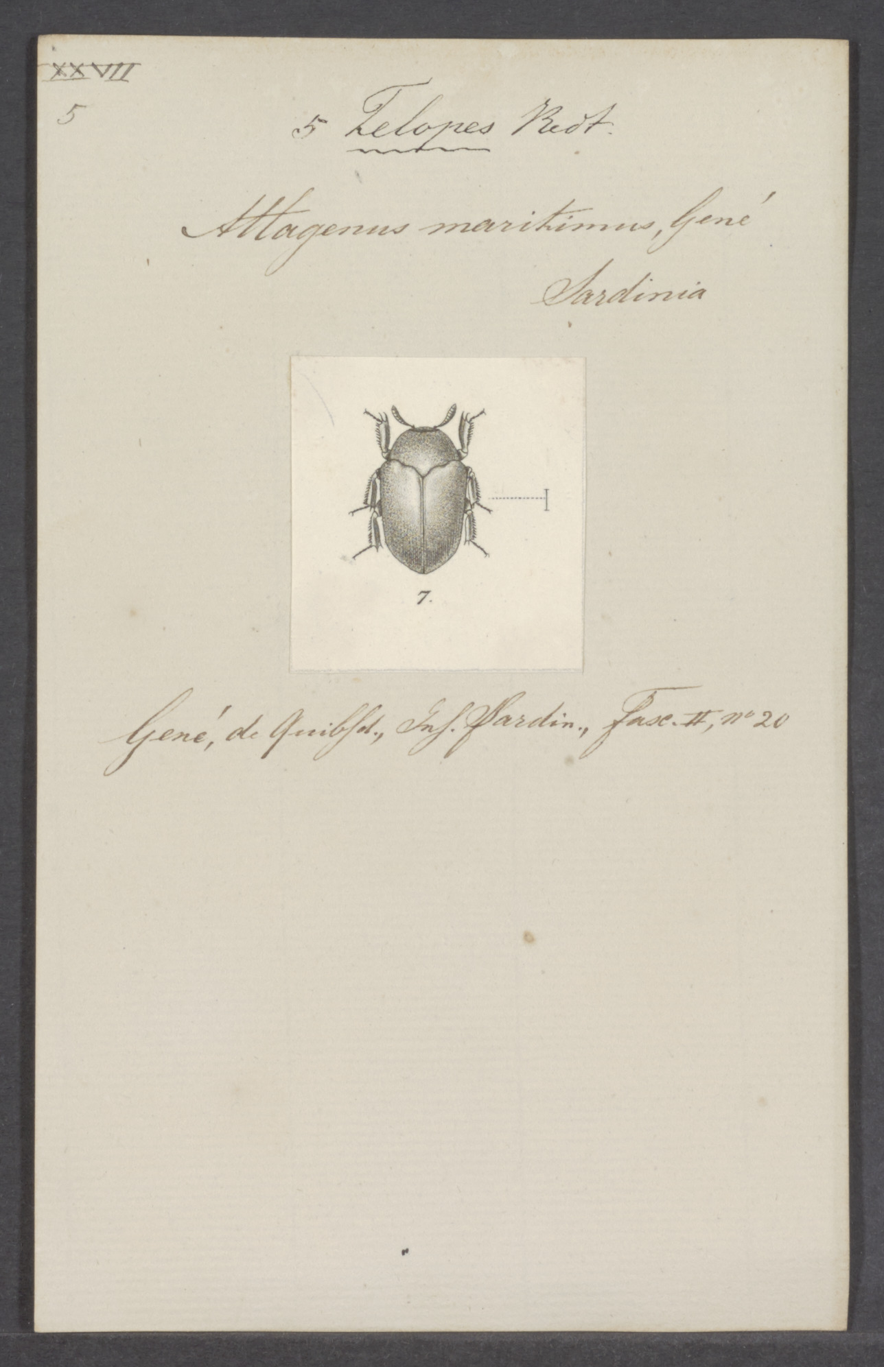Image of Attagenus