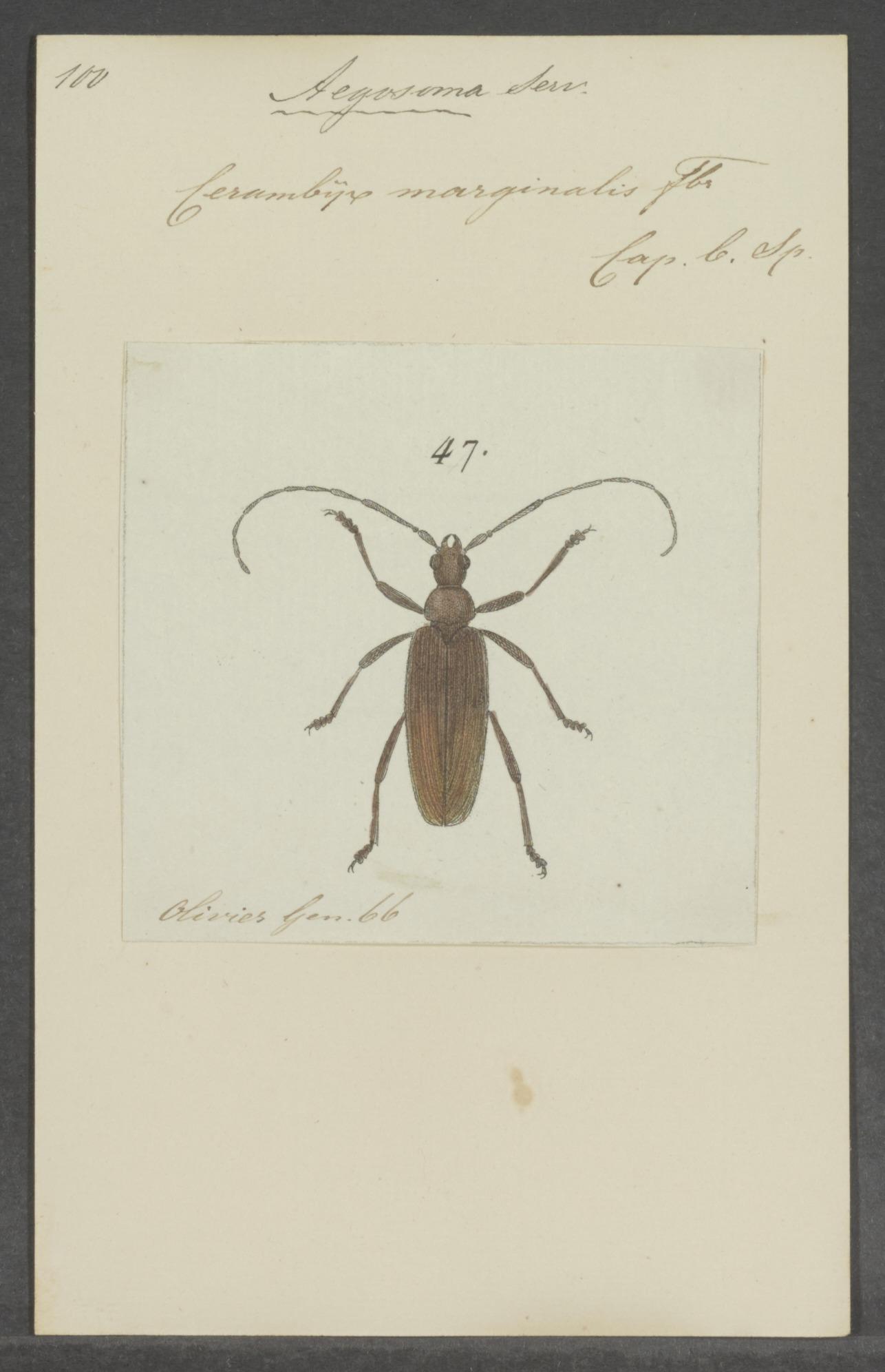 Image of Aegosoma