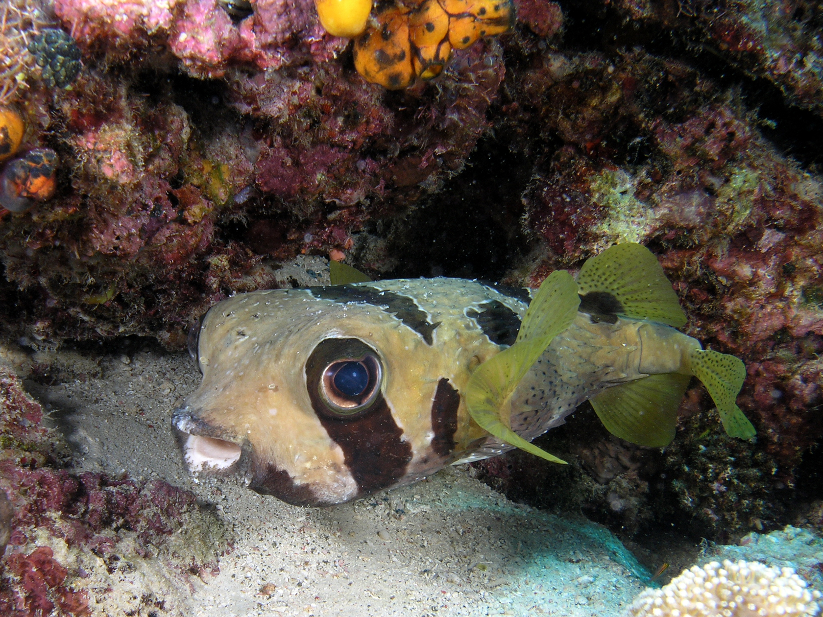 Image of Black-blotched porcupinefish