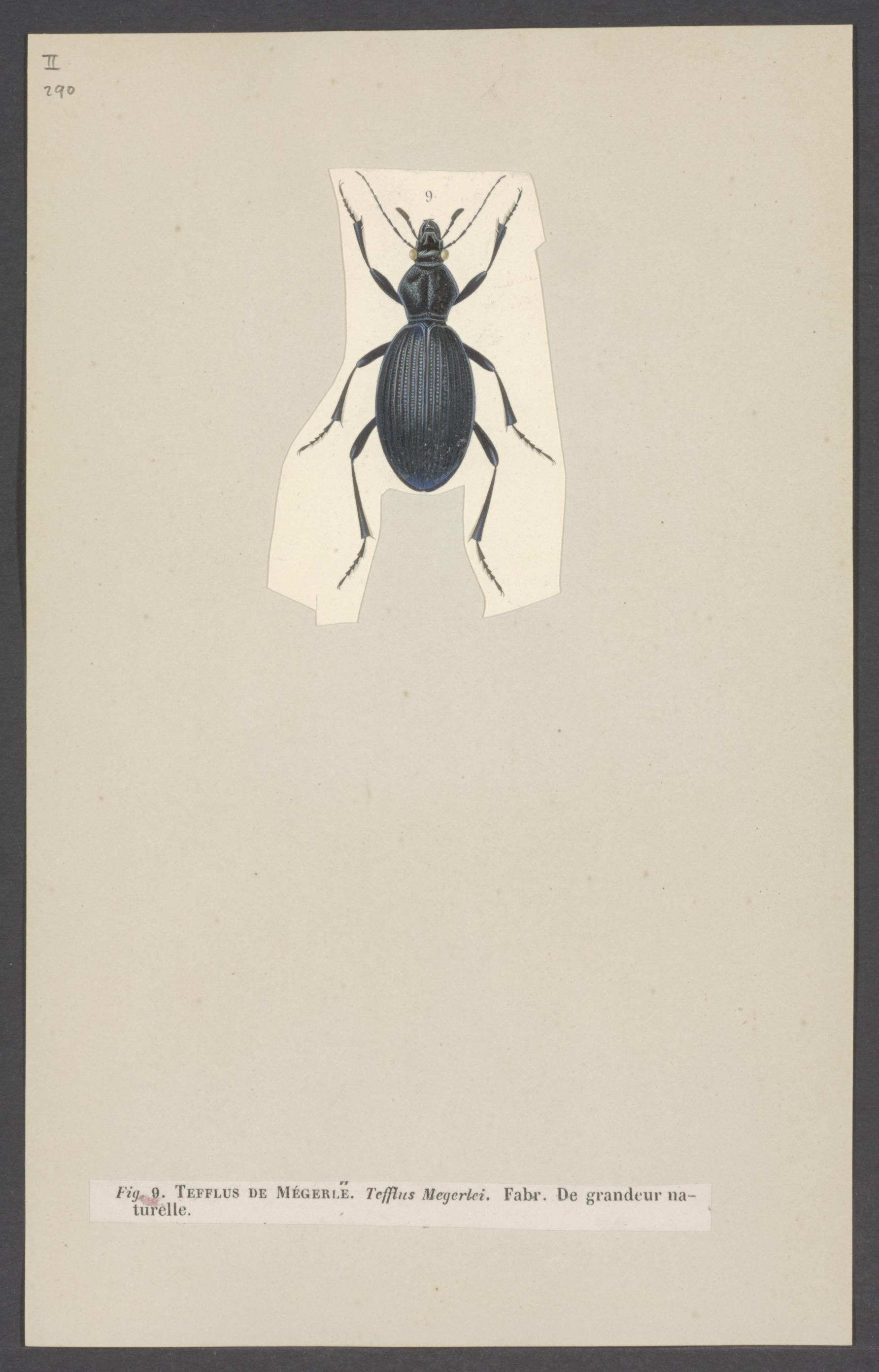 Image of Tefflus