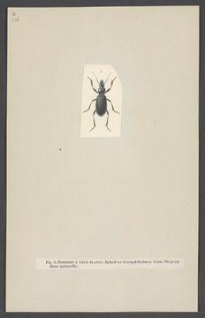 Image of Sphodrus