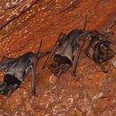 Image of Wroughton's Free-tailed Bat