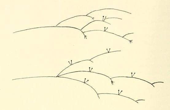 Image of Cunninghamellaceae