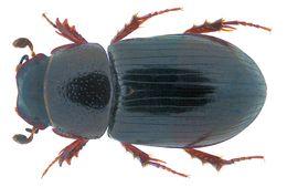 Image of <i>Liothorax plagiatus</i> (Linnaeus 1767)