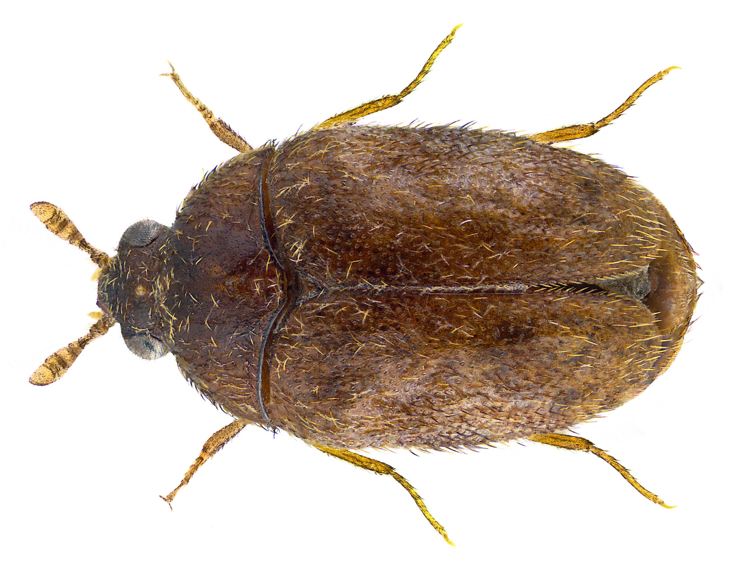 Image of Khapra beetle