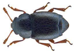 Image of <i>Kateretes rufilabris</i> (Latreille 1807) Latreille 1807