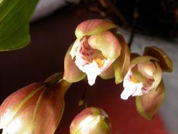 Image of <i>Bifrenaria racemosa</i> (Hook.) Lindl.