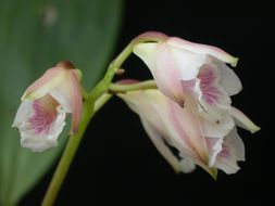 Image of <i>Bifrenaria leucorhoda</i> Rchb. fil.