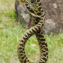 Image of Usambara Eyelash Viper