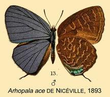 Image of <i>Arhopala ace</i> de Nicéville 1893