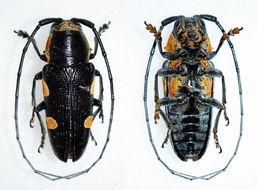 Image of <i>Pinacosterna weymanni</i> Quedenfeldt 1882