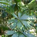 Image of <i>Chelyocarpus ulei</i> Dammer