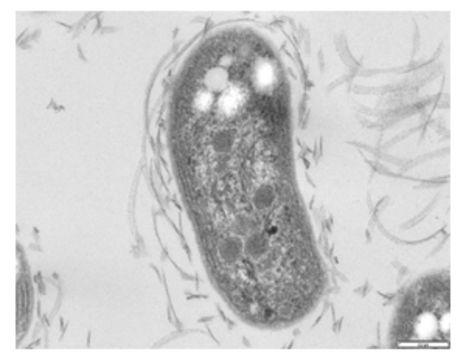 Image of Nitrobacter