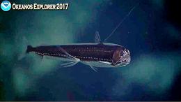Image of viperfish