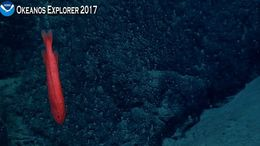 Image of Red Whalefish