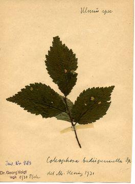 Image of <i>Coleophora badiipennella</i> Duponchel 1844