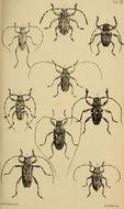 Image of <i>Aegoschema moniliferum</i> (White 1855)