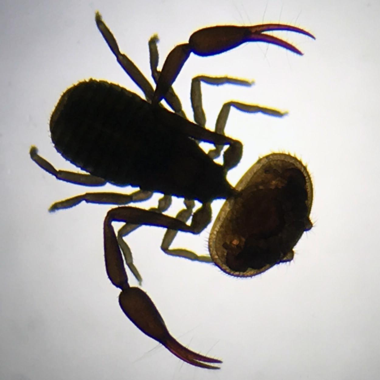 Image of Varroa