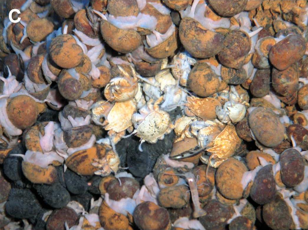 Image of <i>Crysomallon squamiferum</i>