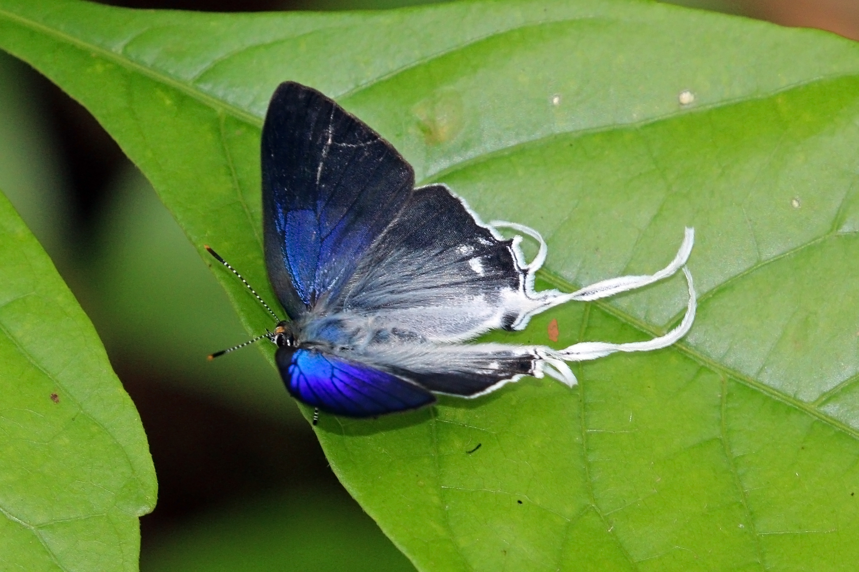 Image of <i>Hypolycaena antifaunus</i> Westwood (1852)
