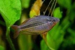 Image of Lake Eacham Rainbowfish
