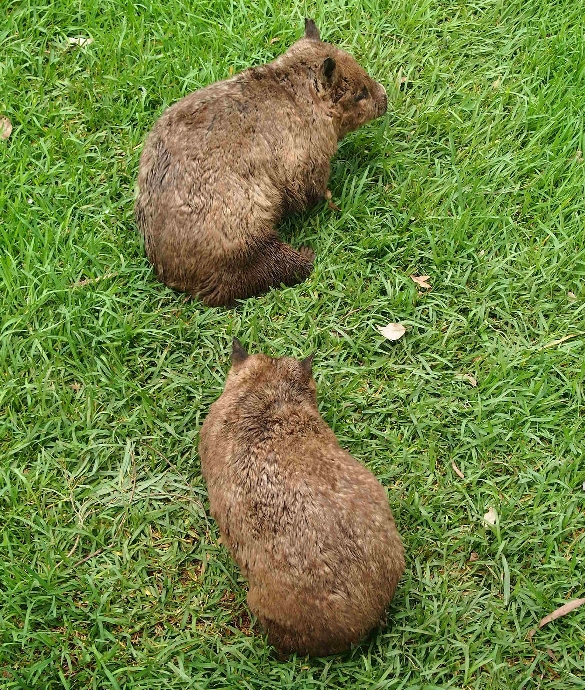 Image of hairy-nosed wombats