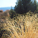 Image of ricegrass