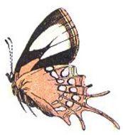 Image of Helicopis