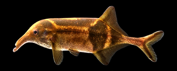 Image of Trunkfish