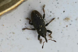 Image of Clover Seed Weevil