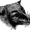 Image of Masked Flying Fox