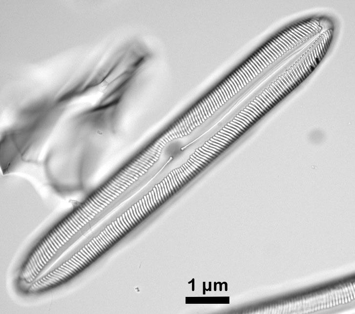Image of Pinnularia