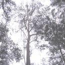 Image of Smith's eucalyptus