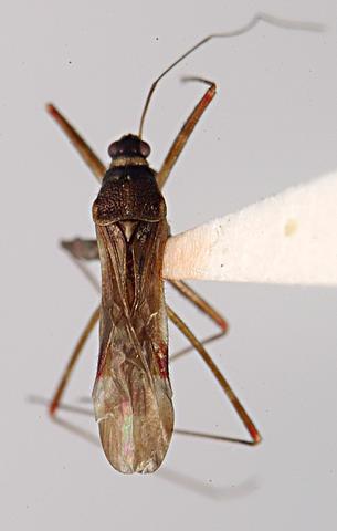 Image of Arachnocoris Scott 1881