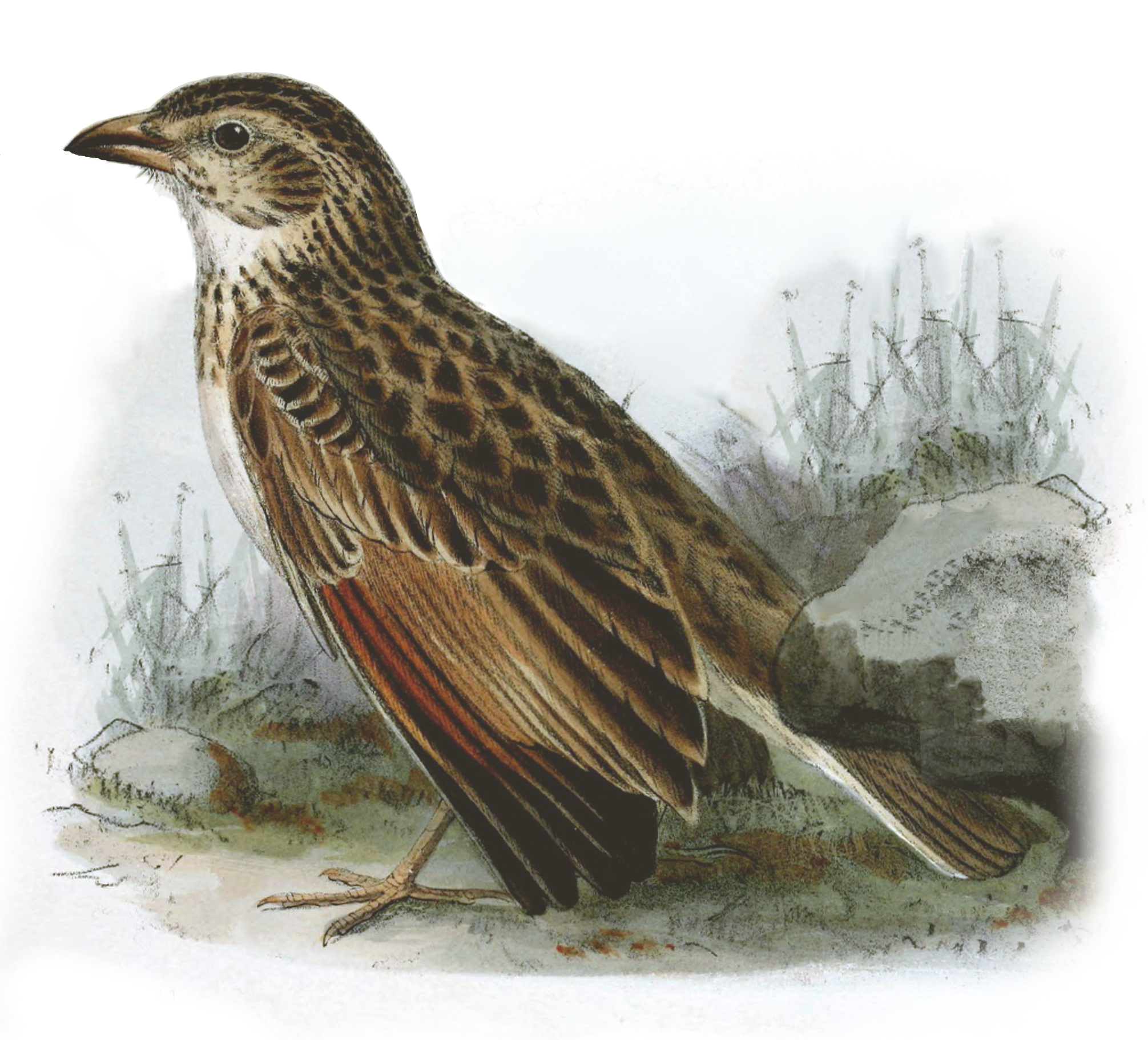 Image of Botha's Lark