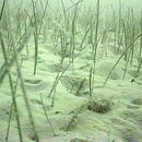 Image of Slender Seagrass