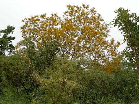 Image of barwood