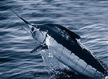 Image of Blue Marlin